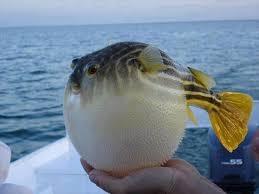 Antalya'da balon balığı yakalandı galerisi resim 3