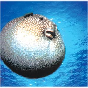 Antalya'da balon balığı yakalandı galerisi resim 4