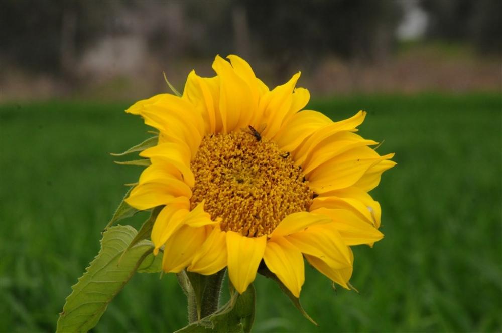 Osmaniye'de ayçiçeği erken açtı galerisi resim 1