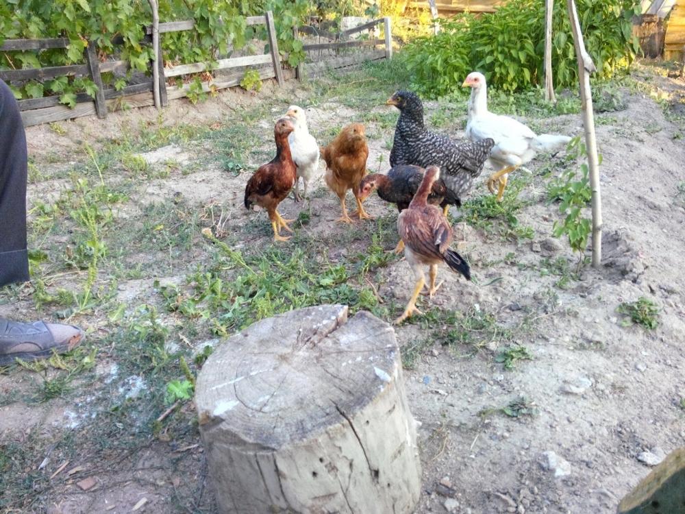 Güzelliği ile hayrete düşüren tavuk ve horozlar galerisi resim 29