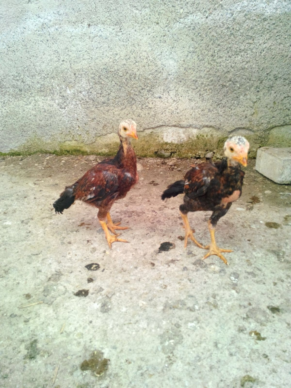 Güzelliği ile hayrete düşüren tavuk ve horozlar galerisi resim 6