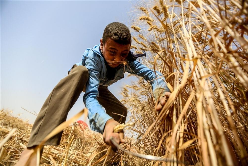 Mısır'da buğday hasadı galerisi resim 1