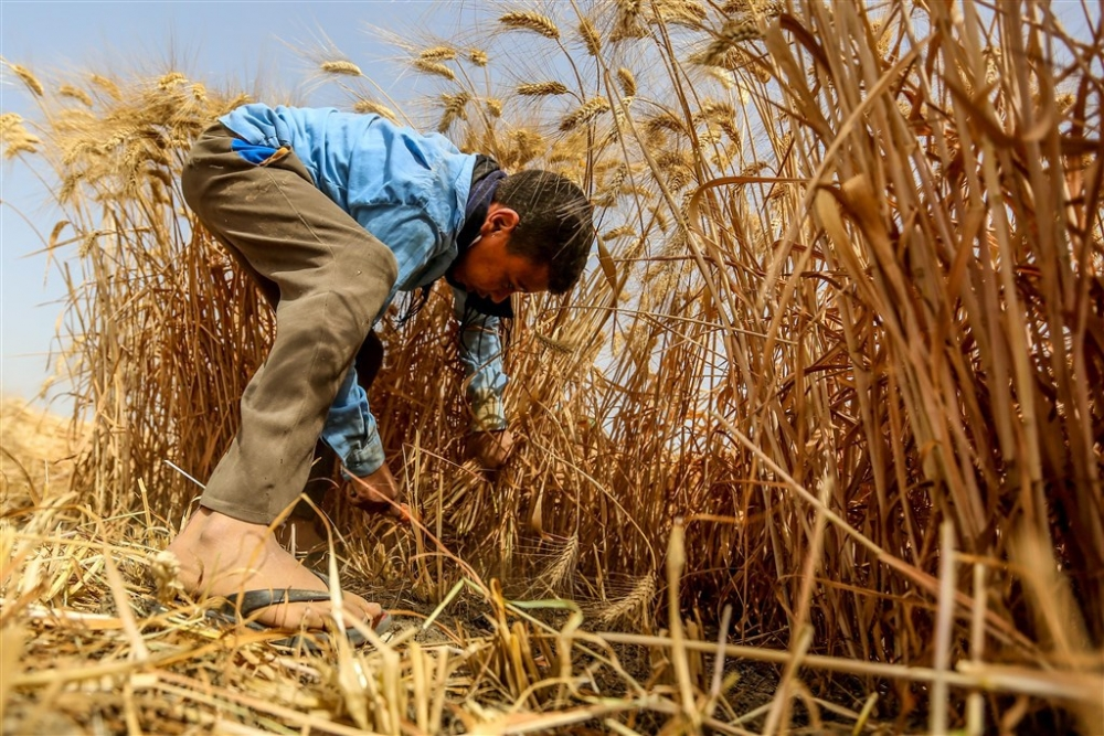 Mısır'da buğday hasadı galerisi resim 12