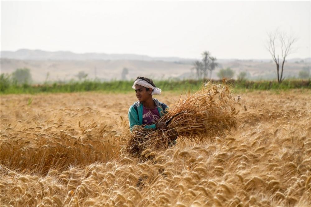 Mısır'da buğday hasadı galerisi resim 2
