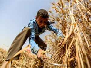 Mısır'da buğday hasadı