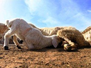 'Süt kuzuları'nın anneleriyle buluşma telaşı
