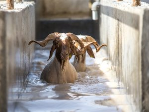 Elit koyunlara 'yaz banyosu'