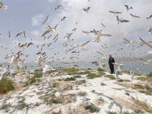 Süleymaniye Dokan Barajı'ndaki adacık binlerce martıya ev sahipliği yapı