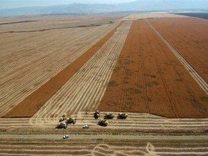 Muş'ta aspir hasadına başlandı ! Aspir Yağı Nedir?
