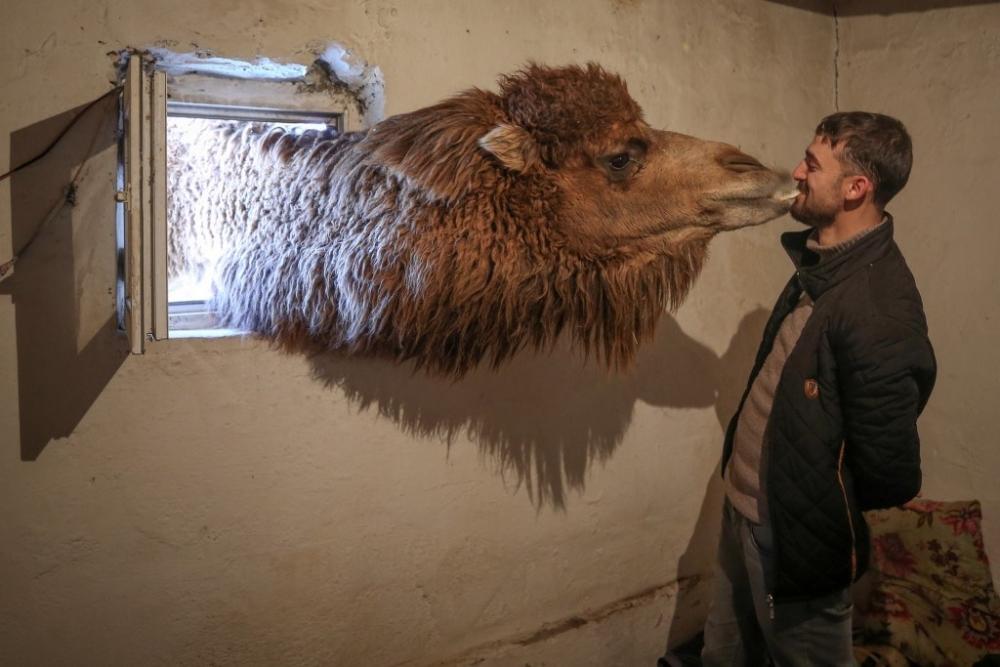 Güreş develerini karlı tepelerde yetiştiriyorlar galerisi resim 1