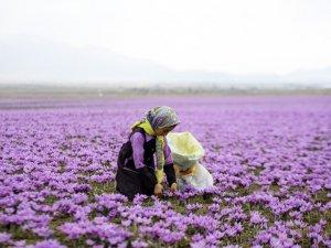 İran'ın kızıl altını: Safran