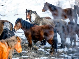 Antalya'nın yılkı atları kar üstünde görüntülendi
