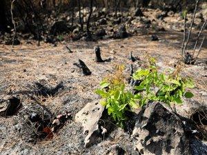 Manavgat'ta yanan orman küllerinden doğuyor: Yedi bitki türü filizl