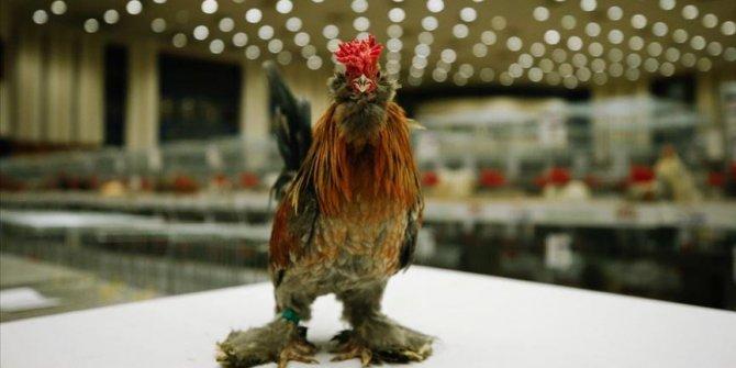 Minyatür tavuk 'İspenç' yerli ırk olarak tescillenecek
