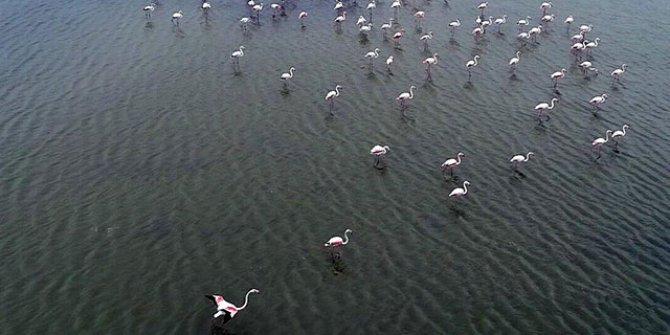 Gala Gölü'ne binlerce flamingo geldi
