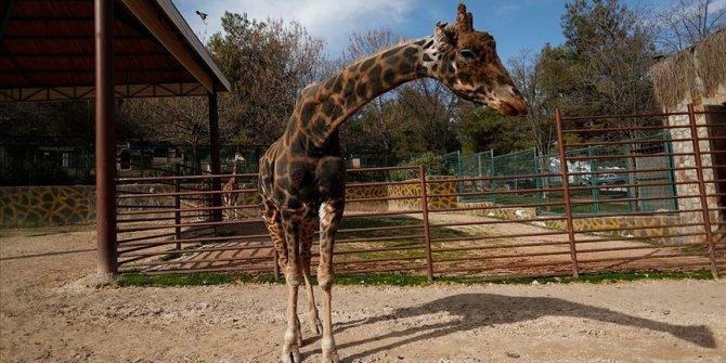 Zürafa Şakir 'baba' oluyor