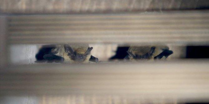 20 yıldır yarasalar üzerinde çalışan biyologdan 'yarasaları öldürmeyin' uyarısı