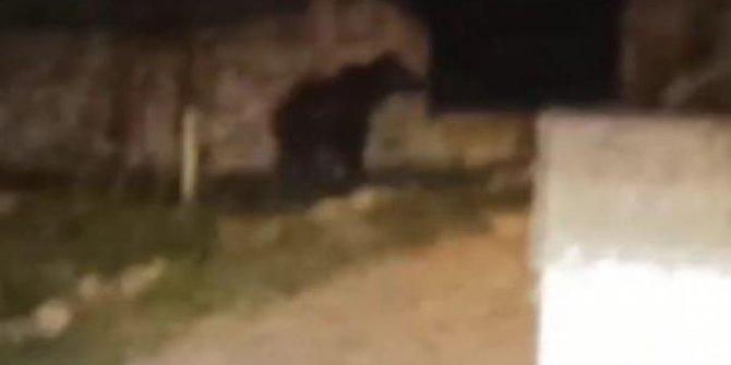 Sivas'ta köy içine giren ayı görüntülendi