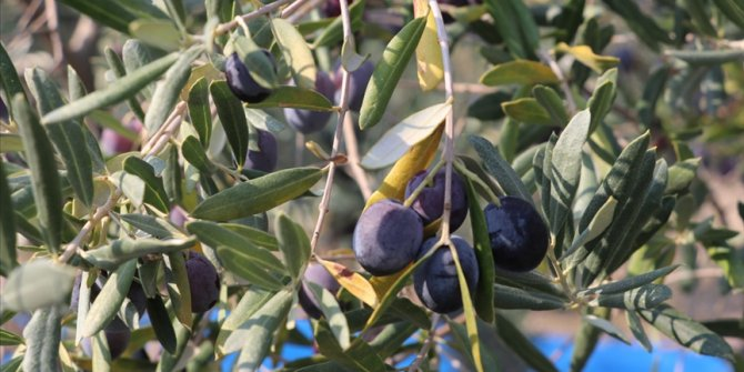 Zeytinin rekoltesi düşük, yağının kalitesi yüksek