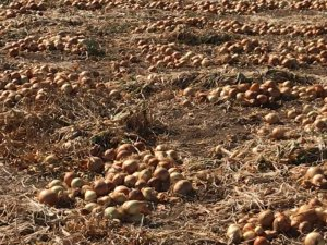 Soğan üreticisi dertli