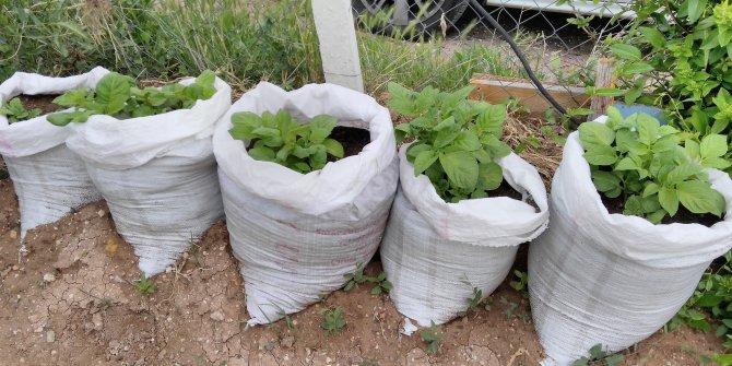 Çuvalda patates dikilir mi? Çuvalda patates olur mu? Çuvalda patates yetiştirmenin püf noktası