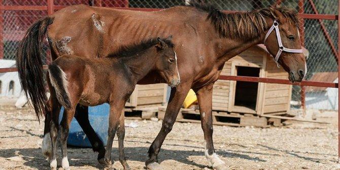 Ölüme terk edilen at, yavrusuyla buluşturuldu