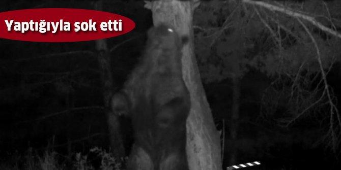 Ayıların sürekli aynı ağaçta kaşındıkları saptandı