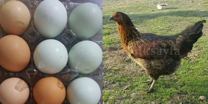 Mavi yumurtanın farkı nedir? Mavi yumurtanın faydaları nelerdir?