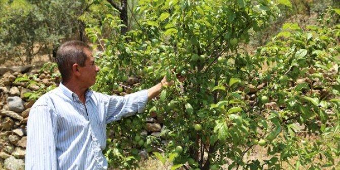 Antalya'da tek ağaçtan 4 çeşit meyve alan çiftçi