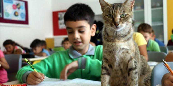 Derslere giren kedi 'Tarçın' teneffüslerde yavrularıyla ilgileniyor