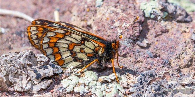 '12 bin yaşındaki' kelebek Ağrı Dağı'nda yeniden görüntülendi