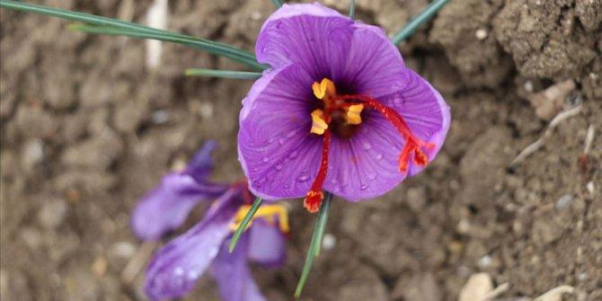 'Mucize bitki' safranda hasat zamanı