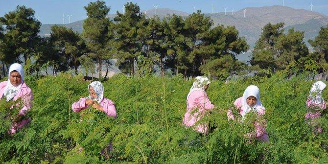 Antep'te mucize bitki Moringa Oleifera hasadı başladı