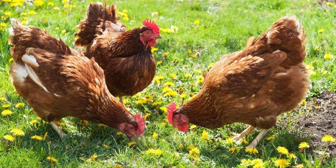 Lezzetli ve sağlık doğal tavuk fiyatı market tavuğunun 4 katı