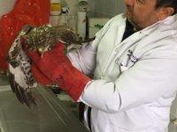 Kahramankazan'da kızıl şahine yaşam dokunuşu