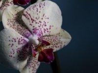Phalaenopsis Amabilis Orkide