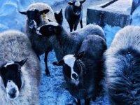 Ukrayna'dan getirilen Romanov koyunları Giresun'a uyum sağladı