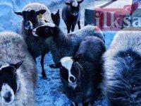 Damızlık romanov koyunu özellikleri nelerdir, hangi ilde bulunur?