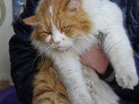 8 kiloluk kedi 'Şerafettin', esnafın maskotu oldu