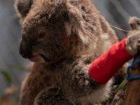 Avustralya'da koala katliamı