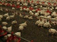 Çin ve Almanya'da kuş gribi salgını