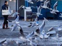 Deniz olmayan Ankara'yı martılar işgal etti
