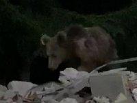 Evin bahçesine giren boz ayı görüntülendi