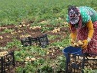 Hasadı başlayan patates ve soğanın ihracatı kontrollü açılıyor