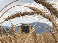 Söke Ovası'nda buğday ekim alanı yüzde 100 arttı