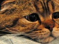 Rusya'da 5 yaşındaki bir kedide koronavirüs tespit edildi