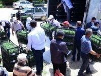 Kahramankazan'da 100 bin domates fidesi çiftçilere dağıtıldı