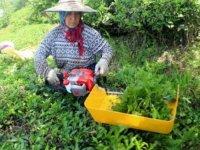 Benzinle çalışan çay toplama makinelerini yasaklandı