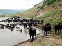 Bitlis'te devlet desteğiyle hayvancılık gelişiyor