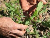 Kalkınma ajansı desteğiyle yerli tohumdan 2 milyon fide yetiştirildi